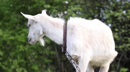 kecske : Adult white goat grazes in a meadow and eats grass