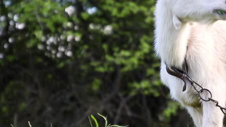 Adult white goat grazes in a meadow and eats grass