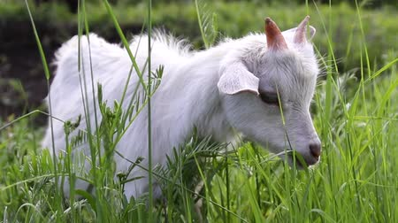 Baby goat eats grass and grazes in the meadow Стоковые видеозаписи