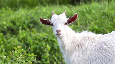kecske : White goat grazes in a meadow
