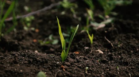cherish : Sprouting seedlings from the ground in spring. Plants Growing in Greenhouse Stock Footage