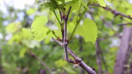 лоза : Grape leaves through the summer sun