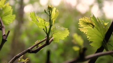wijnbladeren : Grape leaves through the summer sun Sunlight flashes into the camera. Riping grapes in spring Stockvideo