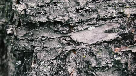 견목 : Bark of a tree close up, impressive beautiful bark of a tree. Camera slowly moving lengthwise the trunk. Vertical panoramic