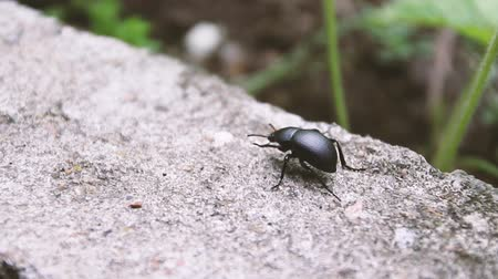 Black beetle walk on smooth surface of ground