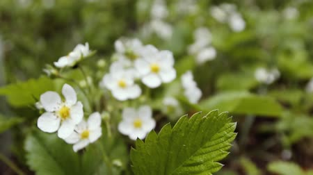 The first small white strawberry flowers in the garden. Bush blooming strawberry close up view Стоковые видеозаписи