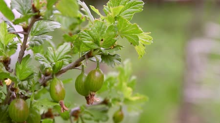 emin : Green young unripe gooseberries close-up growing on a branch in the garden on a green background Stok Video