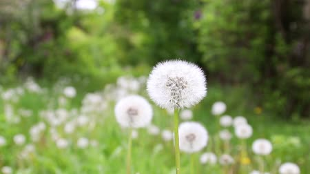 Dandelion flower in meadow. Bloomed dandelion in nature grows from green grass. Old dandelion closeup. Stock Footage