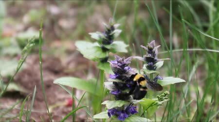 Flying bee and bumblebee flower nectar collection