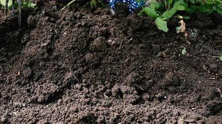 sow : Weeding soil in the garden. Garden works, weeding of the ground by rakes from weeds