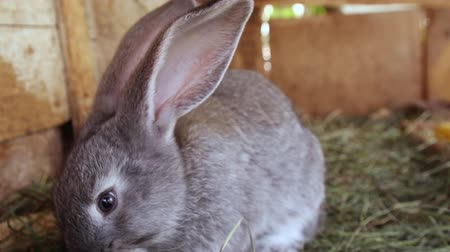 rabbit ears : Little gray bunny portrait close up Stock Footage