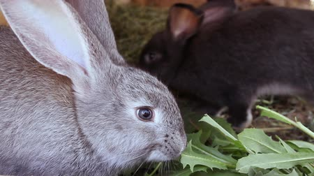 rabbit ears : Close-up of little different colored rabbits in a cage. They eat fresh grass Stock Footage