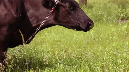 cow flies : Grazing cows at farm rural field pasture. Brown cow with horns eating grass on a green meadow on a sunny day