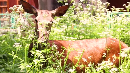 paroh : wild roe deer grazing in the field Dostupné videozáznamy