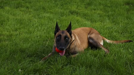 çoban köpeği : Belgian Shepherd dog holding a toy ball, lying on the grass in the mouth during a walk in nature