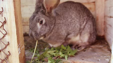 rabbit ears : Cute gray rabbit eats grass sitting in a wooden cage. Female hand puts weed in a cage. Animal husbandry Stock Footage
