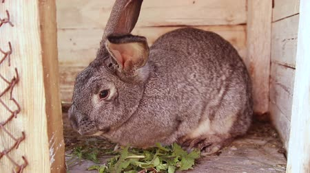 bűbájos : Cute gray rabbit eats grass sitting in a wooden cage. Female hand puts weed in a cage. Animal husbandry Stock mozgókép