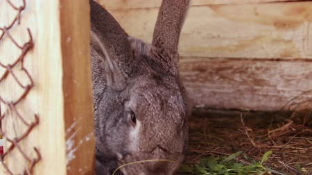 panico : Cute gray rabbit eats grass sitting in a wooden cage. Female hand puts weed in a cage. Animal husbandry Filmati Stock