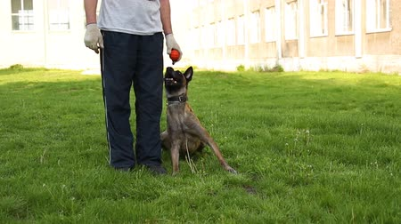 Belgian Shepherd Dog Malinois holds a red rubber ball in its teeth, she is drooling. Dog sits on the green grass in the park. Training and playing with a dog Стоковые видеозаписи