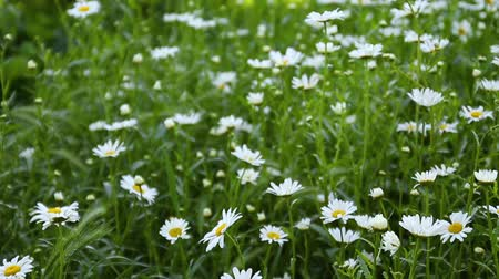 Sunny day. Summer flowers. Chamomile flowers. Beautiful nature scene with blooming medical chamomile on a sunny day