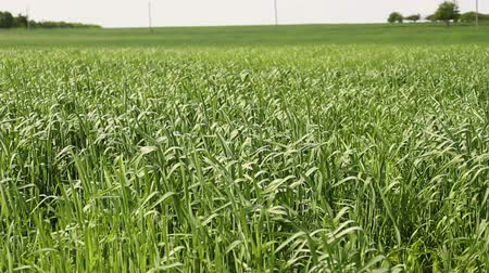 Close up of green wheat swaying in the wind.