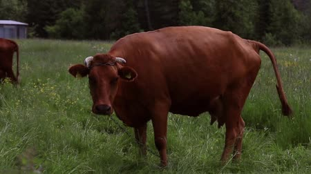 hovězí : A brown cow standing in a pasture with other cows in the background with Hills Dostupné videozáznamy