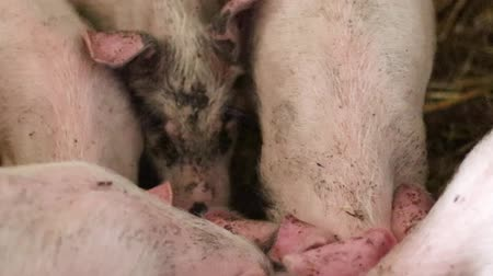 diyabet : Pigs on livestock farm. Pig farming. Pigs eat from a bowl of food. Pink dirty pigs eat food from the trough