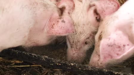 enclosure : Pigs on livestock farm. Pig farming. Pigs eat from a bowl of food. Pink dirty pigs eat food from the trough