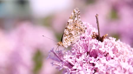 open blossom : A brown butterfly with a beautiful pattern on its wings sits on a lilac flower bush. Wind swaying a plant on a sunny summer day Stock Footage