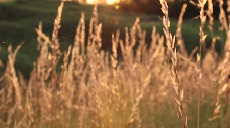 plodnost : Sunset on the field. Grass in the backlight of the sun. Dostupné videozáznamy