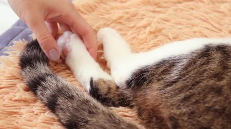 Female hands touch the paws and tail of a tabby cat. Cat beating its tail lying on bed. Cat behavior. Стоковые видеозаписи