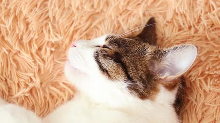 ébredés : Closeup of beautiful fluffy tabby cat sleeps on a magic bed.