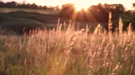 agricultural lands : Sunset on the field. Grass in the backlight of the sun. Stock Footage