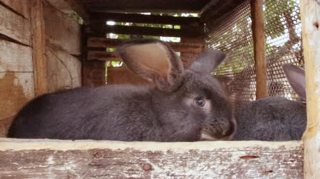 listens : Many little funny rabbits eat grass in a cage on the farm together. Domestic rabbits in a cage.