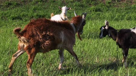 confronto : Two adult goats play with each other. Cute animals test their strength and butt each other.