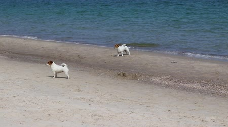 terier : Jack Russell Terrier dogs have fun playing on the beach near the sea on a sunny day. Dogs Walking On The Beach.