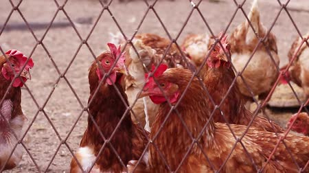 kurulamak : Brown hens with red crests look around each other at the farm. Poultry farming Stok Video