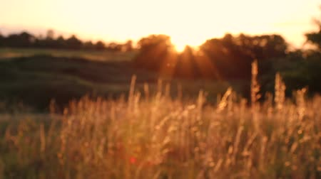 fertility : Sunset on the field. Grass in the backlight of the sun. Stock Footage