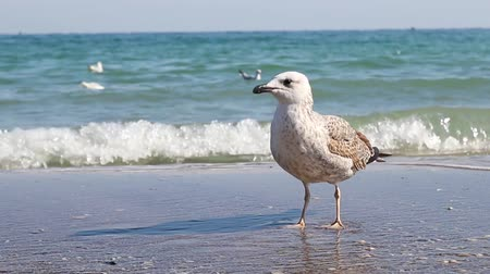 argentatus : A beautiful white seagull stands on the seashore and looks at the camera. Formidable bird. Clear water waves wash the beach shore