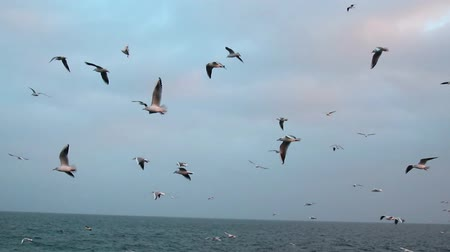 живая природа : Many white seagulls of birds fly over the sea waves in cloudy weather.