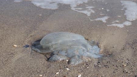 промывали : A large blue jellyfish lies on the sand near the sea. Ecological catastrophy. Water waves beat against the seashore