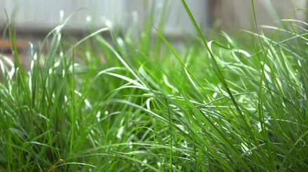 Green young grass swaying in the spring