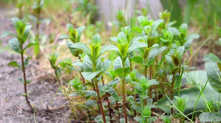 Green young mint and melissa plants