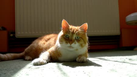 Ginger cat lying on a green carpet in the sun and looking around, watching something