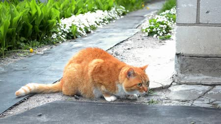 Red cat with a green collar is sitting near the house and looking at something. A piece of land flies into it and it runs away.