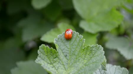 Orange and red ladybugs mate and sit on a leaf of currants in the wind