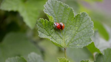 Orange and red ladybugs mate and crawl on a currant leaf in the wind, top view