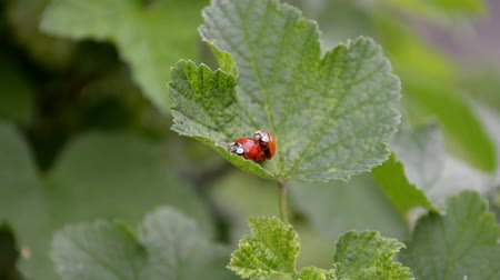 Two orange and red ladybugs mate and crawl on a currant leaf in the wind Stock mozgókép