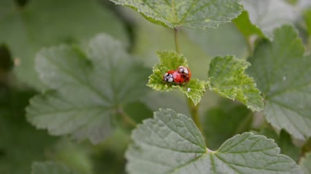 Two orange and red ladybugs mate and sit on a leaf of currants in the wind