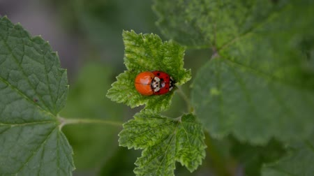 красная смородина : Orange and red ladybugs is mating and sitting on a leaf of currants in the wind, top view